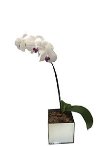 1166  Flowers Orquídea Phalaenopsis Branca - Singela