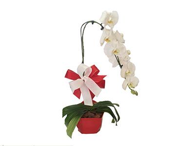 1178 Orquídea Branco Neve