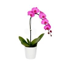1621 Delicate Flower Orquídea 1 Haste