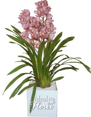 1807 Orquídea  Cymbidium no Cachepô