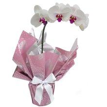 2221 Orquídea Rose