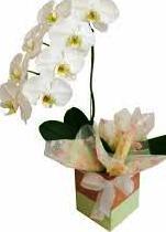 355 Linda Orquídea Branca
