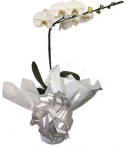 4337 Amável Flor