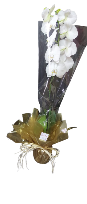 4686  Orquídea Phalaenopsis Branca