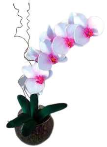 4752 Orquídea Rose and White Exotic