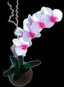 4752 Orquídea Rose and White Exotic