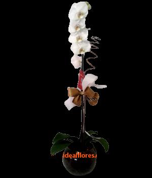 5547 Orquídea Phalaenopsis
